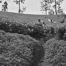 The Tea Pickers by Bradley Old