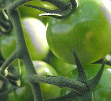 Tomatoes by BecCunningham