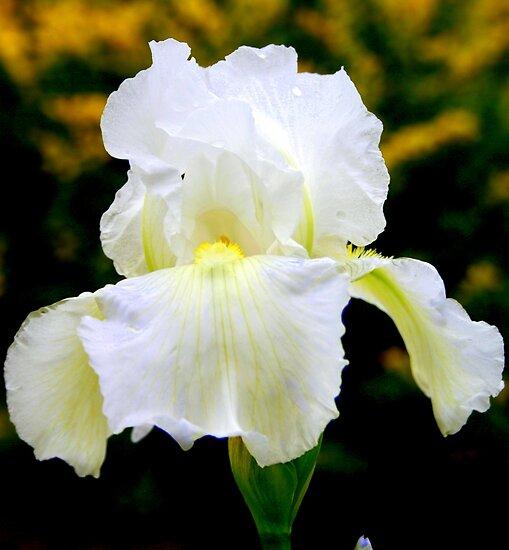 White Iris by kkphoto1