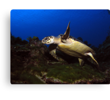 Low Flying Turtle Canvas Print