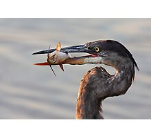 A fresh catch - Great Blue Heron Photographic Print