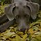 Weimaraners - The Gray Ghosts