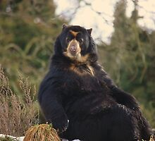 Spectacled Bear by Franco De Luca Calce