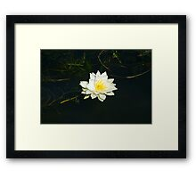 White Water Lily (Nymphaea odorata) Framed Print