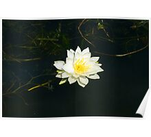 White Water Lily (Nymphaea odorata) Poster