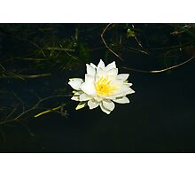 White Water Lily (Nymphaea odorata) Photographic Print