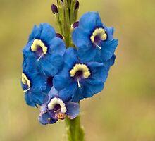 Blue Brazilian Flower by Chaordicphoton