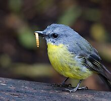 Eastern Yellow Robin by Jeremy Weiss