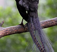 Superb Lyrebird by Jeremy Weiss