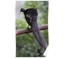 Superb Lyrebird Poster