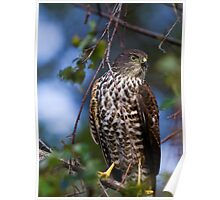 Collared Sparrowhawk Poster