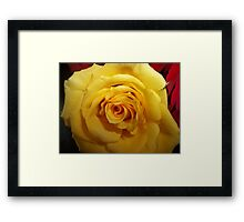 Gifted Yellow Rose Framed Print