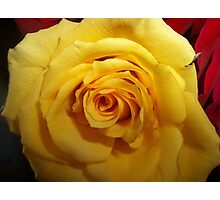 Gifted Yellow Rose Photographic Print