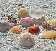 Seashells collection by Helene Chevarie