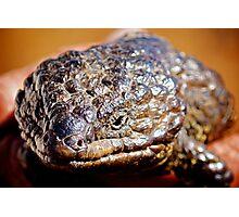 Shingleback Lizard  Photographic Print