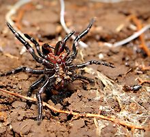 Funnel-web spider by Matt Duncan
