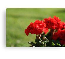 Red Geranium Flowers Canvas Print