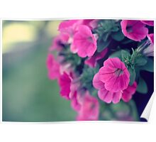 Pink Petunia Flowers Poster