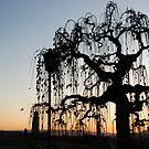 Sunset tree by Aleksandra Misic