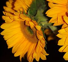 Sunflowers by Bine