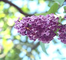 Pretty Syringa Photograph by destei