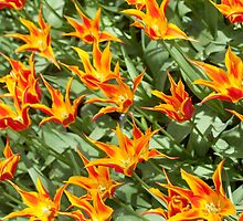 """Lily flowering tulipa """"Fly away"""" by stuwdamdorp"""
