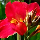 Canna Lilies by Clive