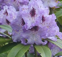 Purple Rhodies by art2plunder