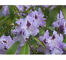 Purple Rhodies 2 Photographic Print