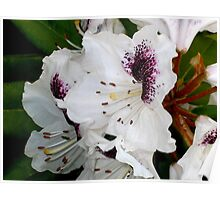 White and Purple Rhodies Poster