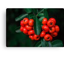 Pyracantha Berries Canvas Print