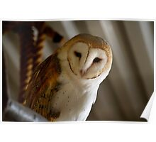 Wild Barn Owl Watching From its Perch Inside a Rustic Barn Building Poster