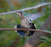 Broad- Billed Hummingbird by Stormygirl