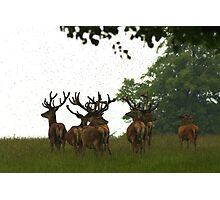Red Deer Stags in June at Studley Royal, Ripon - North Yorkshire Photographic Print