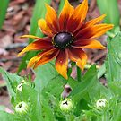 Autumn Colors Black Eyed Susan by Susan S. Kline