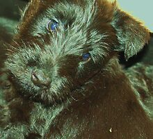 Scottish Terrier Puppy by Franco De Luca Calce