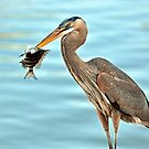 The Blue Heron and the Sheephead by Jeff Ore
