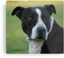 American Staffordshire Bull Terrier Metal Print