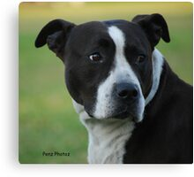 American Staffordshire Bull Terrier Canvas Print