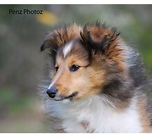 Shetland Sheepdog puppy Photographic Print