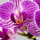 Phalaenopsis Orchid by Malcolm Garth