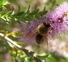 Melaleuca Decussata visited by bee. by Rita Blom