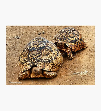 FOLLOWING HER - THE  MOUNTAIN - LEOPARD TORTOISE – Geochelone pardalis Photographic Print