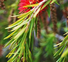 Bottle Brush- Callistemon viminalis by Ashley-Nicole