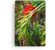 Bottle Brush- Callistemon viminalis Canvas Print