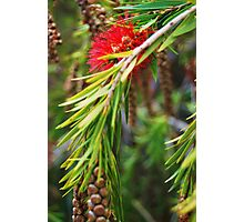 Bottle Brush- Callistemon viminalis Photographic Print