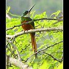 Rufous-tailed Jacamar (Galbula ruficauda) by Cristóbal Alvarado Minic