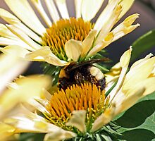 Sandwiched Bumblebee (horizontal) by Bonnie Robert