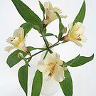 Peruvian Lily in vase by OldaSimek