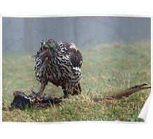 Goshawk eating a pheasant, Wales, UK Poster